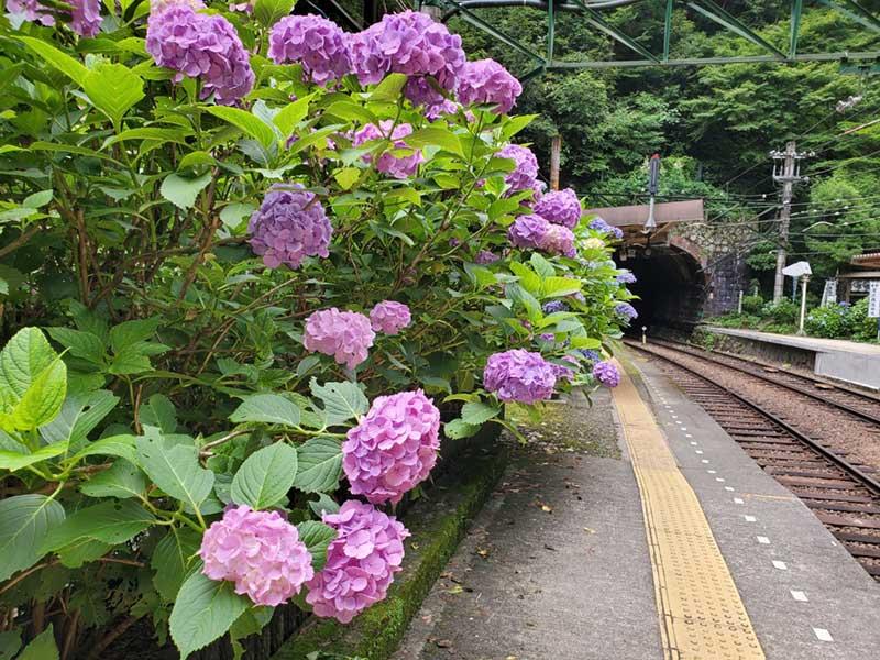 塔ノ沢駅のホームは紫陽花スポット